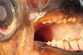 Oh really? Scandinavian male swimmers warned of testicle-Attacking Monster Fish.