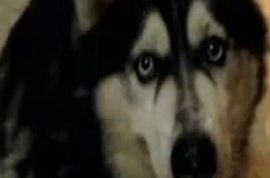 Pet Siberian husky killed by python in backyard.