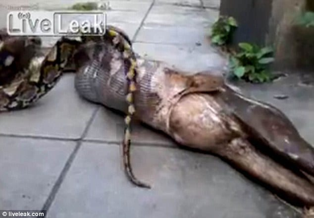 python snake regurgitated a fully grown dog