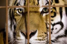 Zookeeper mauled to death by tiger after forgetting to lock door.