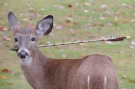 Here is a dear with an arrow through its head. Yet to be removed.