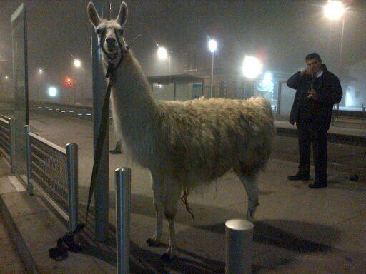Drunk French teens steal llama