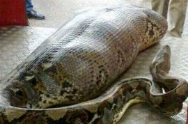 Python eats man in India. But is it just a hoax?