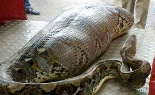 Python eats man in India