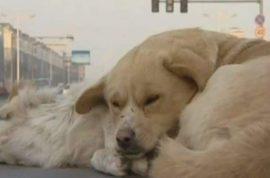 Loyal dog watches over dead dog in sub zero temperature.