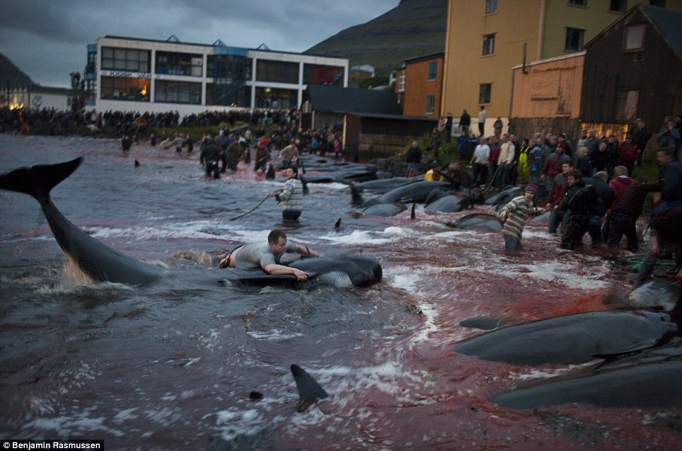 Faroe Island Whale killings