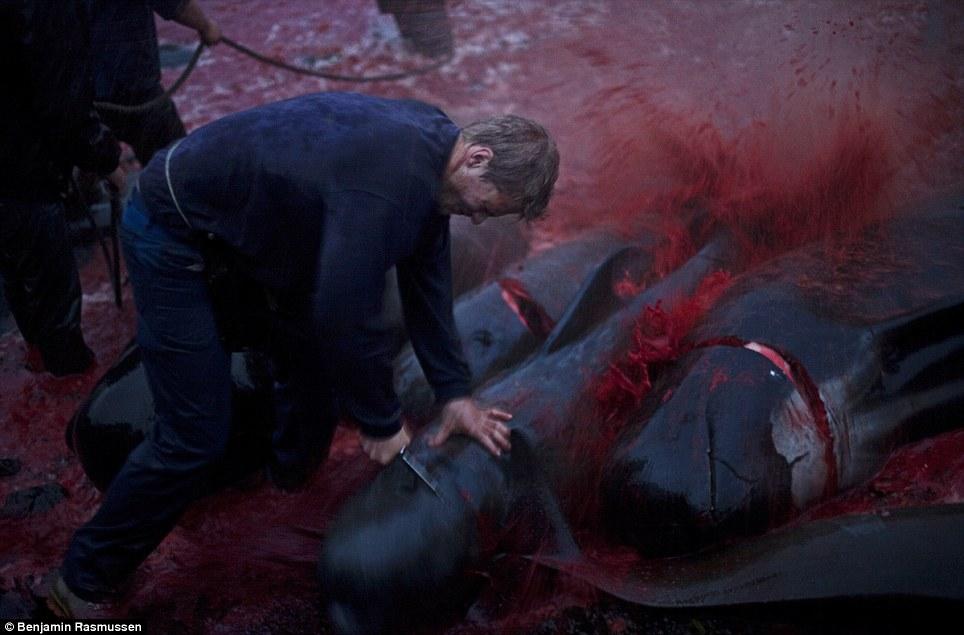 Faroe Island Whale killings