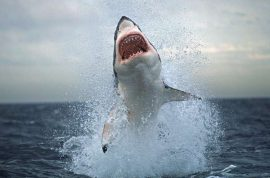 Sharks take to twitter to warn swimmers in Australia.