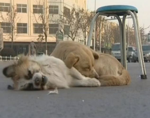 Loyal dog watches over dead dog