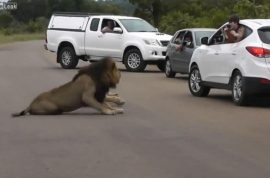 Video: Lion turns on children during safari. Leaning out window.