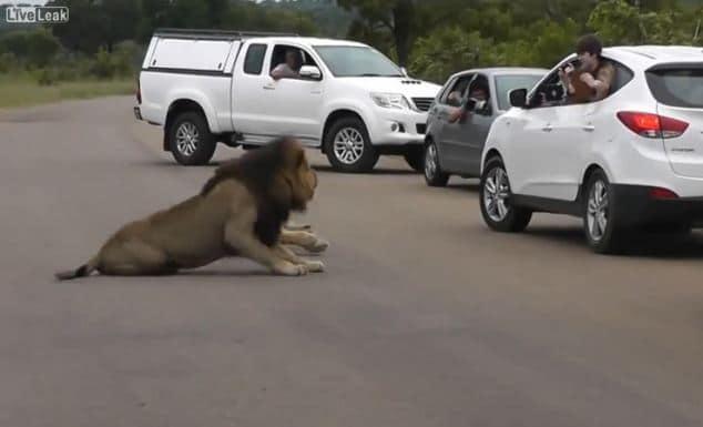 Lion turns on children