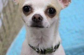 Abandoned Chihuahuas terrorize Arizona community.
