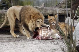 Marius the giraffe is killed and fed to the lions at Copenhagen zoo. World outcry follows.