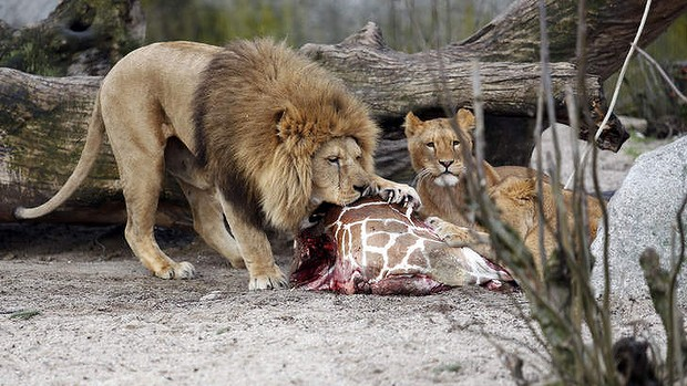 giraffe is killed and fed to the lions