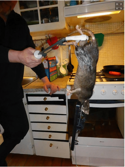 16 inch rat terrifying Swedish family caught