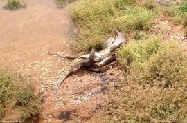 Graphic pictures: Python snake eats crocodile after 5 hours battle.