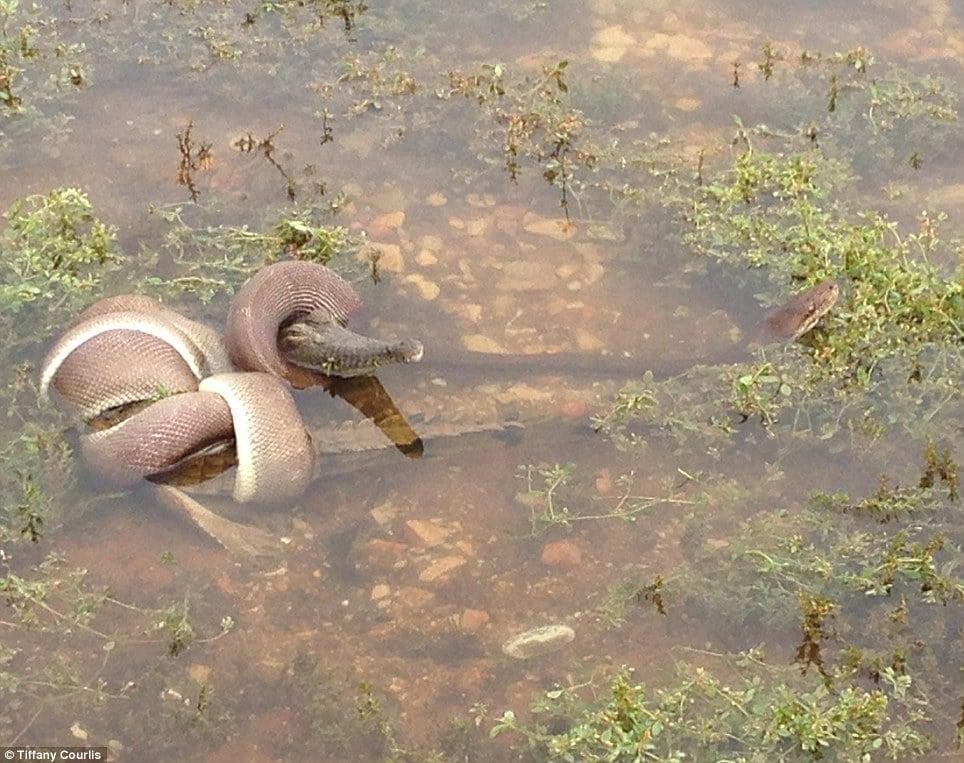 Python snake eats crocodile
