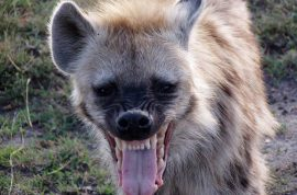 Man allows hyena to eat his genitals cause he thought it would make him rich.