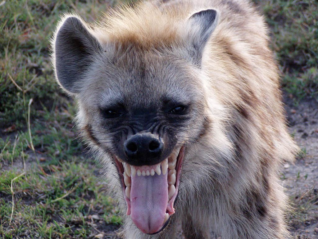 Man allows hyena to eat his genitals
