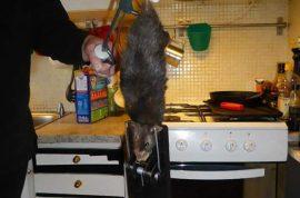 16 inch rat terrifying Swedish family caught.