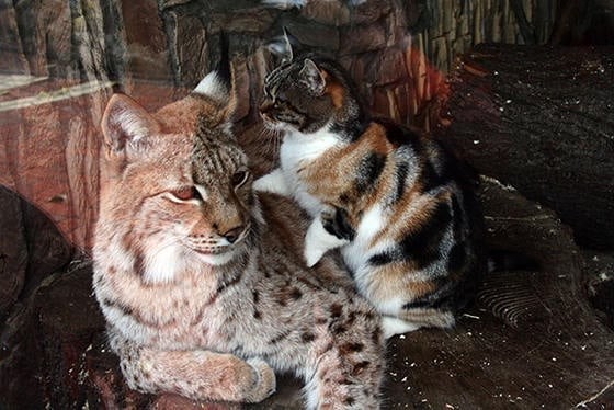 Zoo adopts stray cat after becoming best friends with Lynx