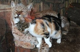 Russian Zoo adopts stray cat after becoming best friends with Lynx