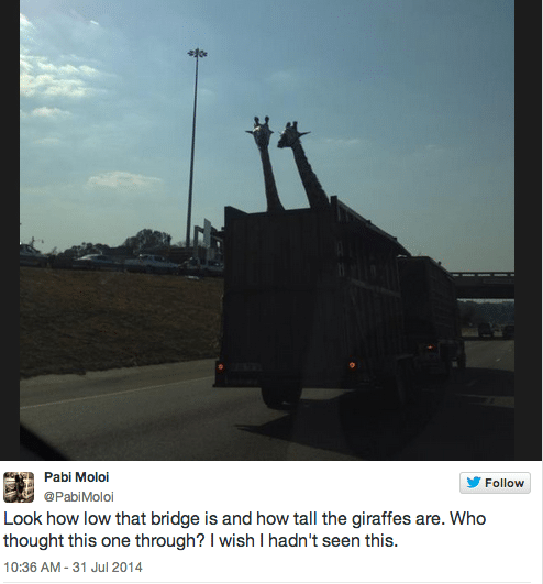 Giraffe killed after hitting its head on low highway bridge