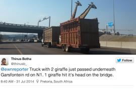 Giraffe killed after hitting its head on low highway bridge