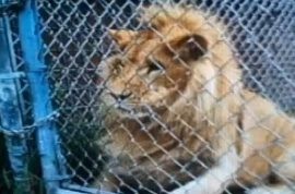 Oh really, Renae Ferguson blames zoo for losing finger trying to pet lion