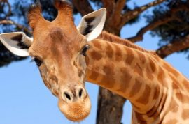 Oh really? Amanda Hall licked and kicked by giraffe after climbing into exhibit