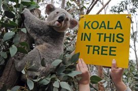 How did a dead koala stuffed with $50 in its mouth end up outside local police station?