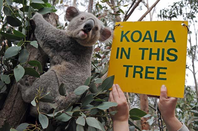 dead koala stuffed with $50 in its mouth