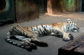 Tiger at Chinese zoo reduced to skin and bones but zookeepers insist all is fine