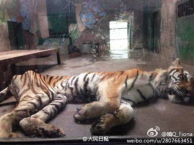 Tiger at Chinese zoo