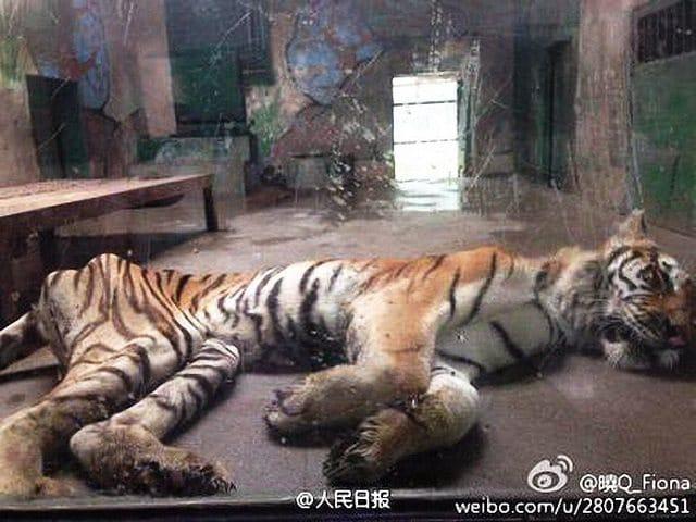 Tiger at Chinese zoo