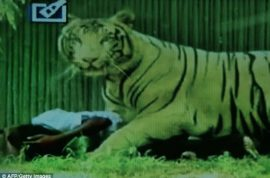Video: White tiger mauls drunk Indian man at New Delhi zoo.