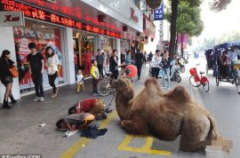 Chinese beggars chop off camel's hooves to earn sympathy