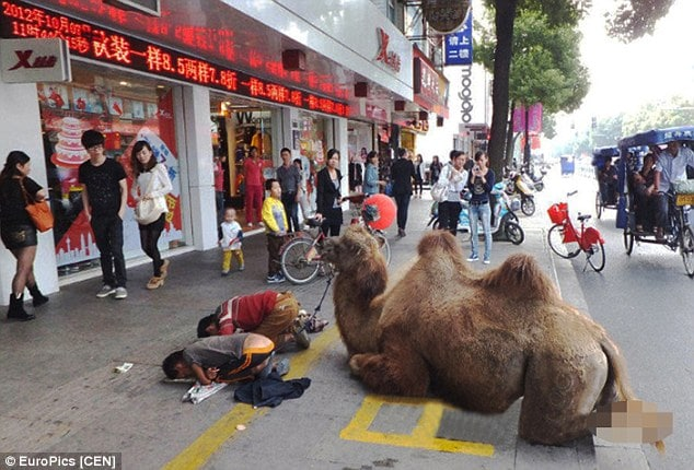 Chinese beggars chop off camel's hooves