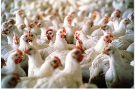 920 chickens bashed to death with golf club at Fosters Farms Plant.