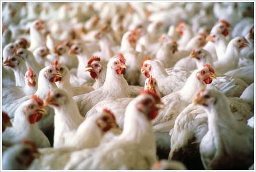 920 chickens bashed to death with golf club