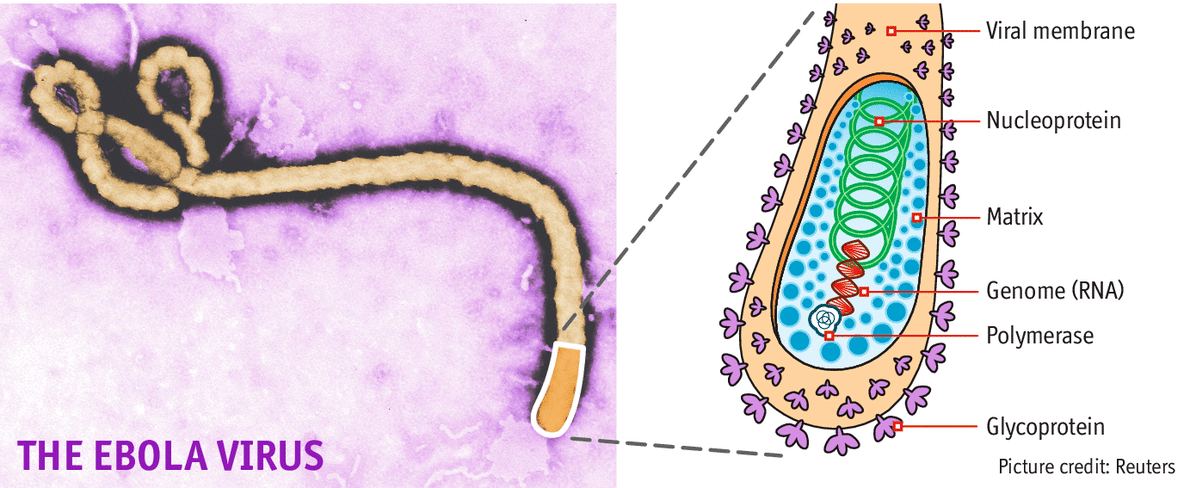 a general description of the ebola virus