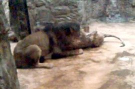 Video: Lion mauls lioness to death at Polish zoo in front of crying children