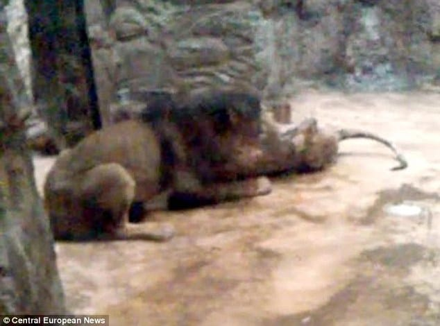 Lion mauls lioness to death at Polish zoo
