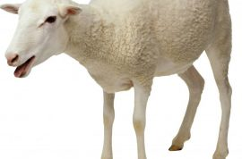 Stressed Fresno State student has sex with sheep. Final exam reliever