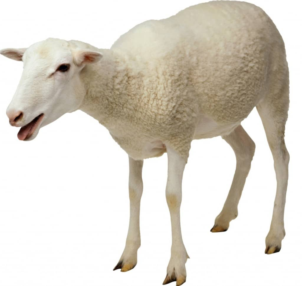Fresno State student has sex with sheep