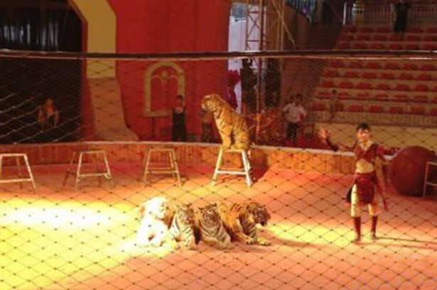 Eight year old Chinese girl mauled to death by circus tiger
