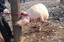 Wei Tsao, Chinese toddler mauled to death and eaten by a pig.