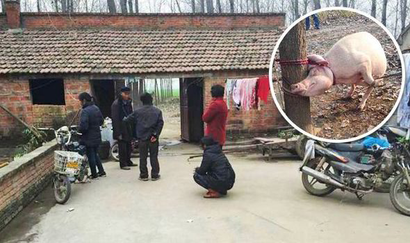 Chinese toddler mauled to death and eaten by a pig