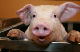 Pigs do fly: Woman with disruptive pig as passenger forced off plane.