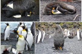 Video: Why are seals having sex with penguins? They usually eat them.